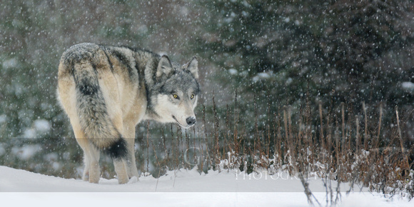 Gray Wolf (Female)