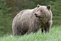 Grizzly Bear (Female)