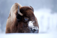 American Bison (Female)
