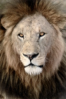Africa Lion (Male)
