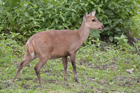Hog Deer (Female)