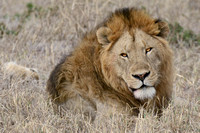 African Lion (Male) - Serengeti NP