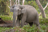 Asian Elephant (Male)